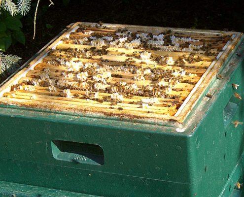 gesundes Bienenvolk bei der Arbeit