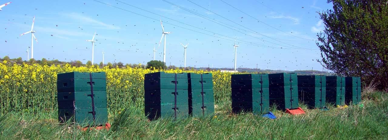 Bienen - gesundes Bienenvolk vor Rapsfeld